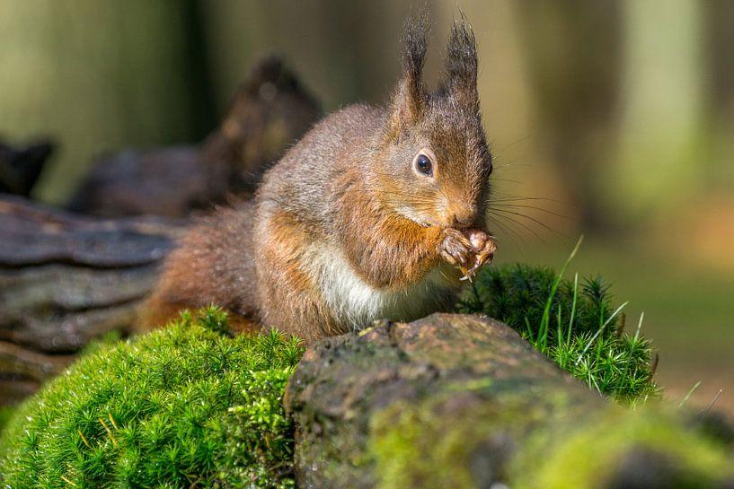 Op een nootje knabbelende eekhoorn van Leo Luijten