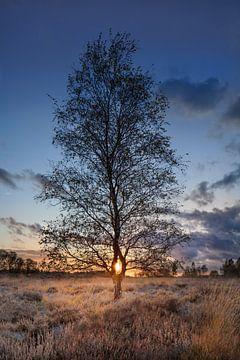 Berk op een heide land verlicht door een sunset_2 van Tony Vingerhoets