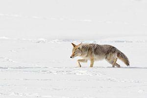 Kojote ( Canis latrans ) stapft durch tiefen Schnee, Yellowstone NP, Wyoming, USA.