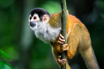 Doodshoofdaapje in het regenwoud van Corcovado, Costa Rica van