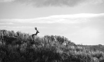 Hirsche schauen über die Dünen hinaus von Discover Dutch Nature