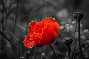 Red Poppy on black background