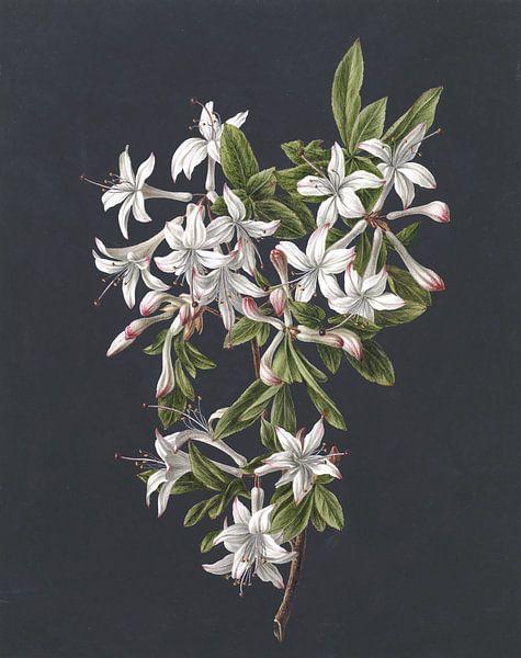Zweig einer blühenden Azalee, M. de Gijselaar von Het Archief