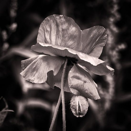 poppy silver van Yvonne Blokland