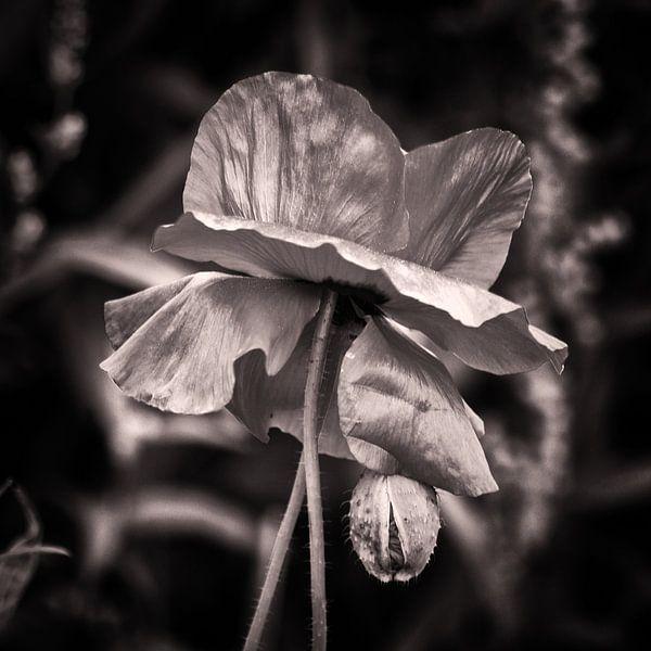 poppy silver
