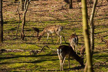 Hirsche im Wald von Brian Morgan