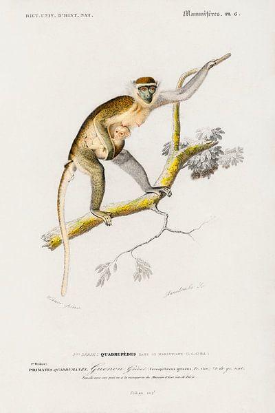 Cercopithecus griseus (Guenon Grivet) von Heinz Bucher
