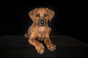 Rhodesian Ridgeback pup van Elles Rijsdijk