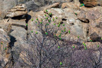 Rosenköpfchen Papageien in Namibia sur Felix Brönnimann