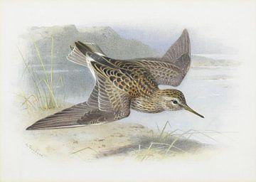 Graubrust-Strandläufer, Archibald Thorburn