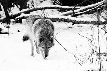 kou en wolf. Gevaarlijke beestenjacht snuift prooi op. Grijze wolf vrouwtje in de sneeuw, mooi sterk van Michael Semenov