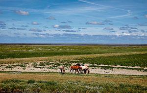 Paarden buitendijks waddengebied