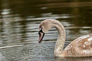 Beauty the Swan von Rob Smit