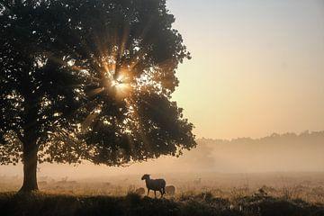 Drenthe Schafe von Ilma Meijer