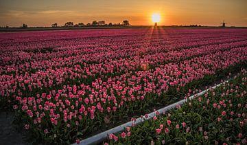 Pink Tulips van Peter Heins