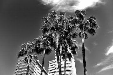 Palmiers, Espagne (noir et blanc)