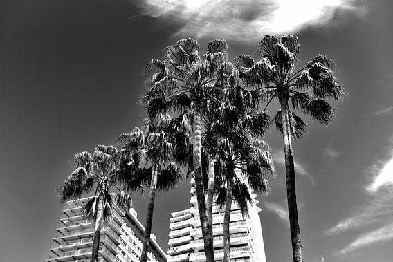 Palmbomen, Spanje (zwart-wit)