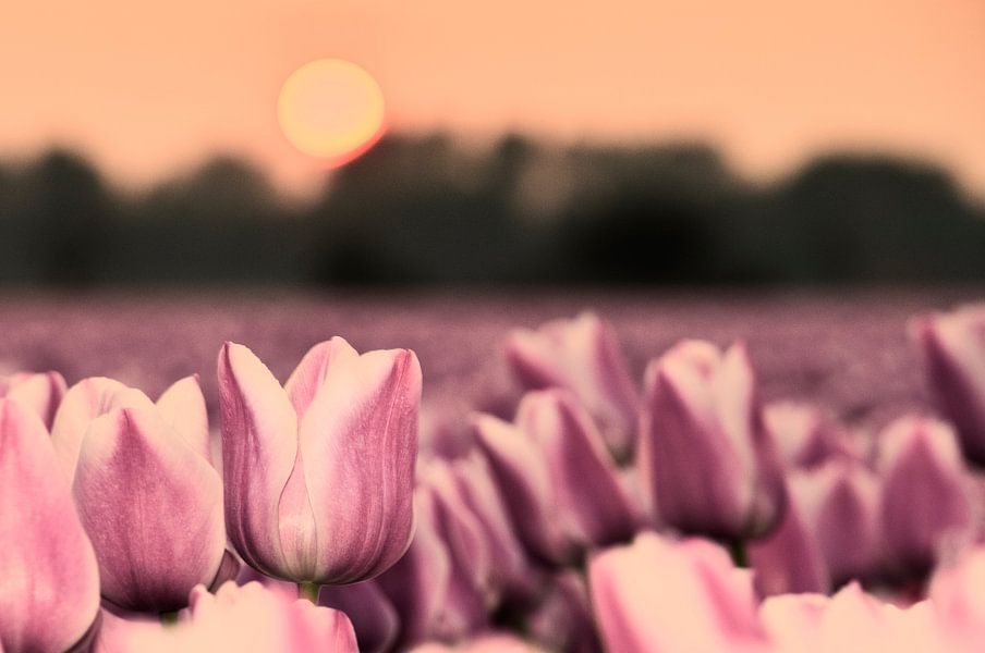 Tulpenveld bij zonsondergang