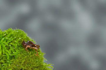 Little grassfrog (Rana temporaria) van Ursula Di Chito