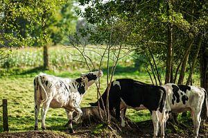 3 koeien in het weiland