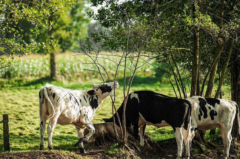 3 koeien in het weiland van Dennis Timmer