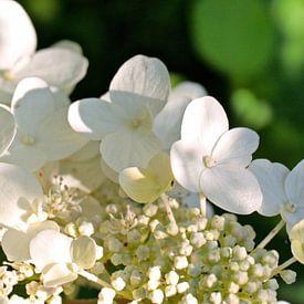 Weiße Hortensie von Andrea Fettweis