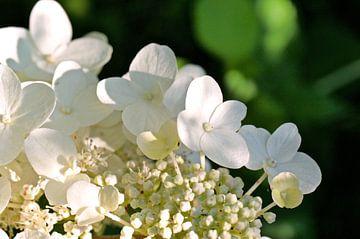 Weiße Hortensie von