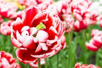 Einige rot-weiße Tulpe mit vielen Tulpen auf dem Hintergrund der gleichen Farbe sur Ben Schonewille