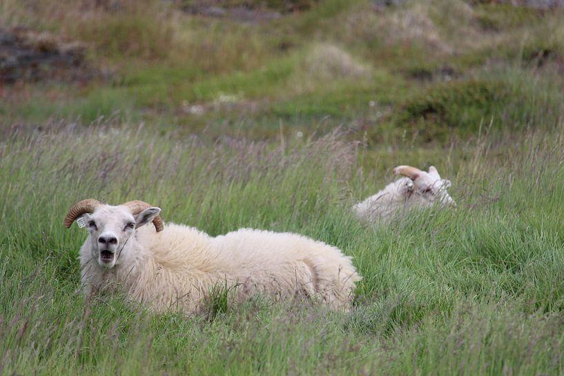Schapen in een weiland op IJsland van Remco Phillipson