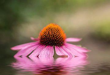 Echinacea sur
