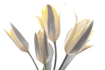 High Key mit gelben Tulpen von J..M de Jong-Jansen