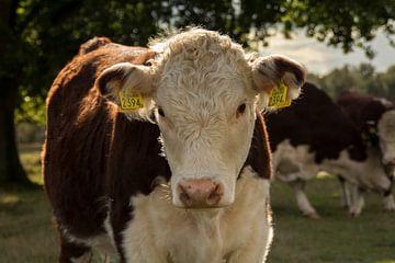 Koe in het licht van Marieke Tromp