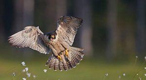 Peregrine Falcon in flight von