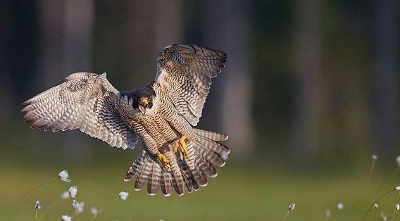 Peregrine Falcon in flight sur Beschermingswerk voor aan uw muur
