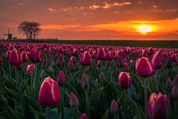 Tulpen auf dem Deich von peterheinspictures