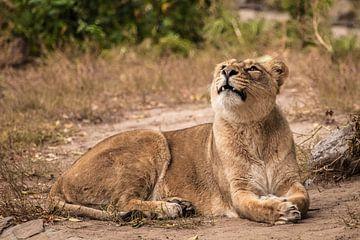 Stolz liegt auf dem Boden in einem Busch. Das löwenlose Weibchen ist eine große räuberische, starke  von Michael Semenov
