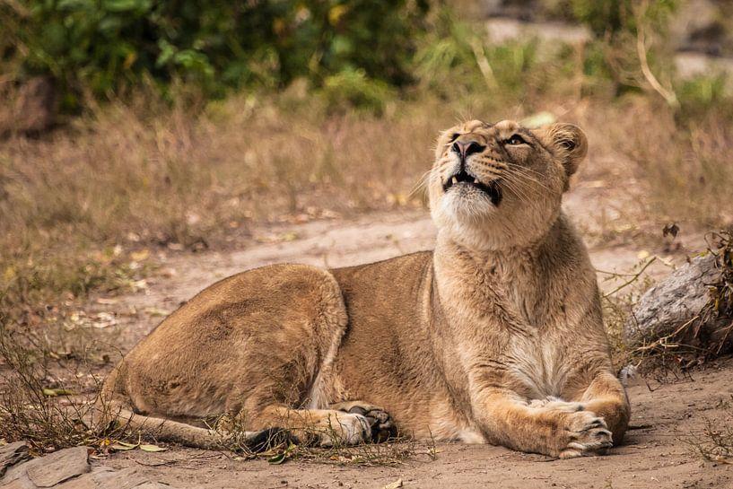 Trots ligt op de grond in een struik. Leeuwin vrouwtje is een grote roofzuchtige sterke en mooie Afr van Michael Semenov