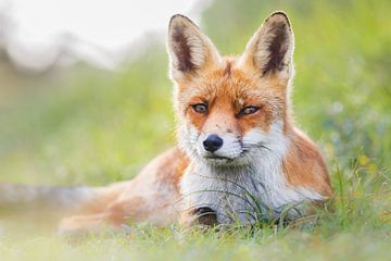 red fox sur Pim Leijen