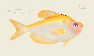 Kyrtus indicus, Marcus Elieser Bloch van Fish and Wildlife