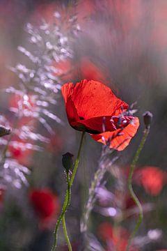 Klaprozen in het bloemenveld van Kurt Krause