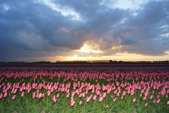 Tulpen op Goeree-Overflakkee van Michel van Kooten