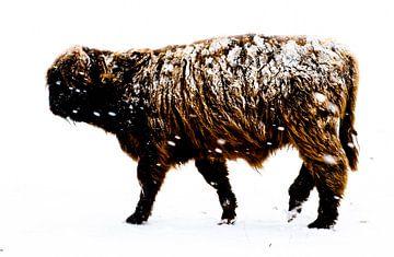 Schotse Hooglander in de Sneeuw van Erwin Plug