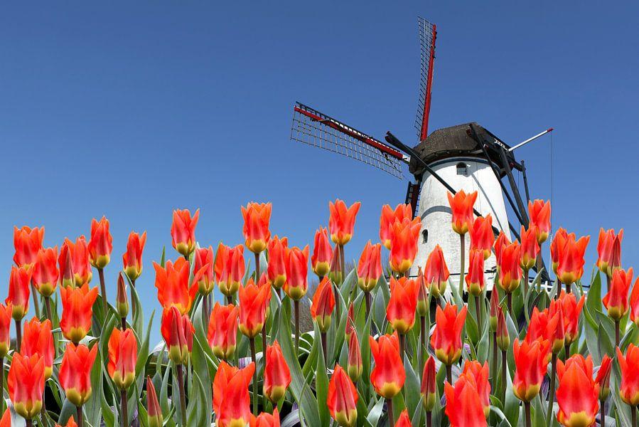 Typisch Nederlands landschap met tulpen en een molen