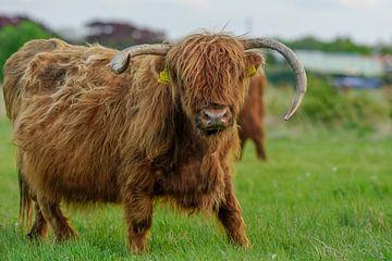 Schottischer Highlander auf Frühlingsreise von Dirk van Egmond