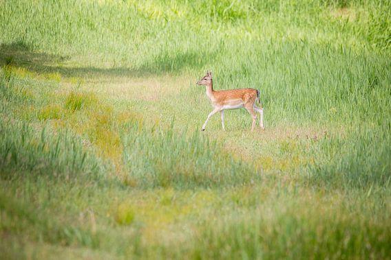 Natuur | Hert in de Amsterdamse Waterleidingduinen