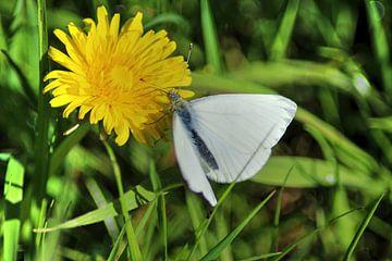 Koolwitje kleine vlinder op paardenbloem van michael meijer
