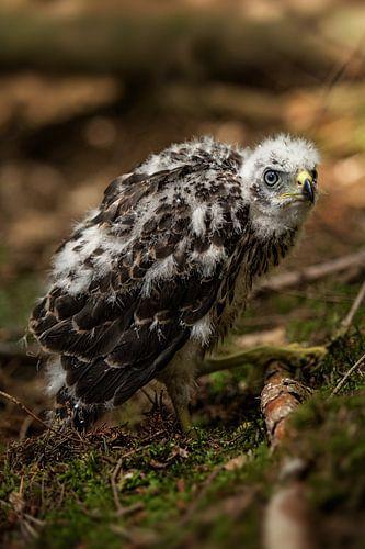 Baby roofvogel van