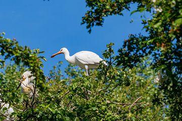 Jonge lepelaar in de boom van Merijn Loch