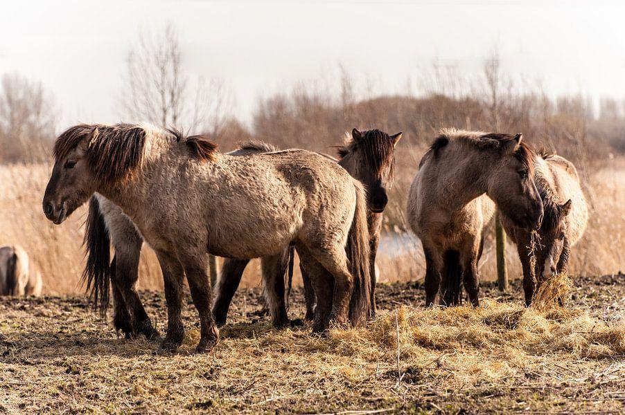 Fjord Horses van Brian Morgan