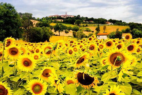 veld met zonnebloemen in Italie van